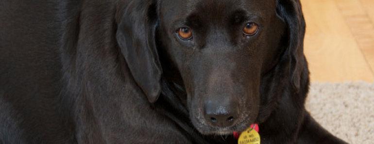 Overweight black lab dog